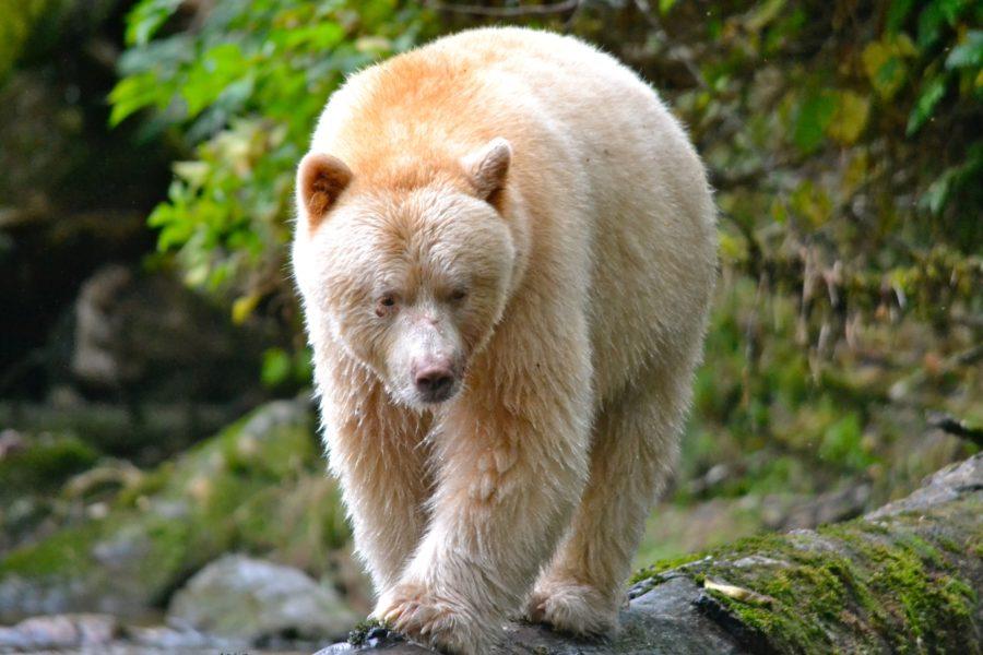 The Magnificent Spirit Bear